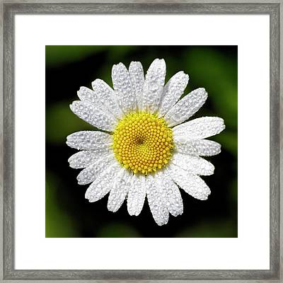 Daisy And Dew Framed Print by Rob Graham