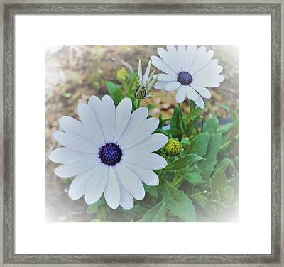 Daisy Framed Print by Ann Johndro-Collins