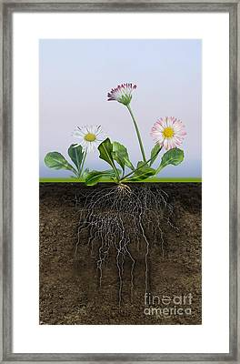 Daisy Bellis Perennis - Root System - Paquerette Vivace - Margar Framed Print by Urft Valley Art