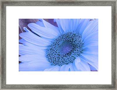 Daisy Blue Framed Print by Marie Leslie