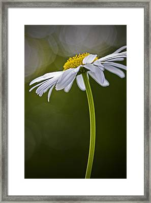 Daisy Framed Print by Bob Decker