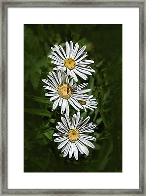 Daisy Chain Framed Print by Marie Leslie