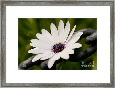 Daisy Chain Framed Print by Venetta Archer