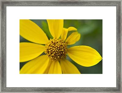 Framed Print featuring the photograph Daisy Daisy by Daniel Hebard