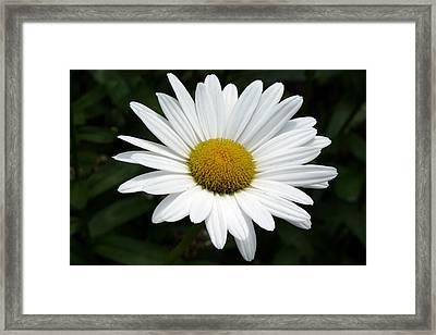Daisy Daisy Framed Print by Tim Mattox