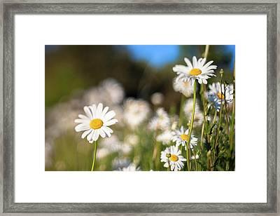 Daisy Framed Print by Daniel Lih