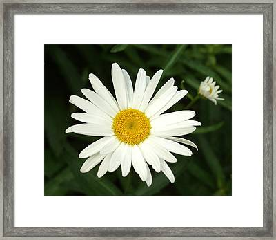 Daisy Days Framed Print by Carol Sweetwood