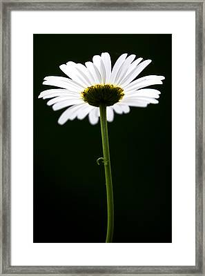 Daisy Down Under Framed Print