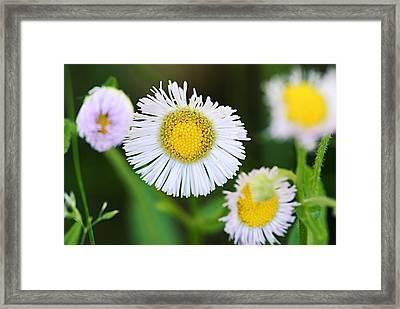 Daisy Fleabane Framed Print