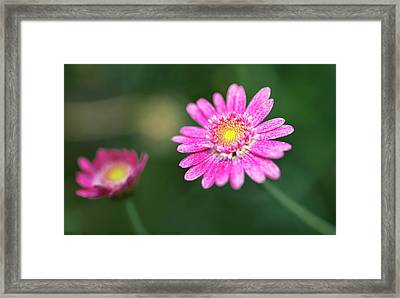 Framed Print featuring the photograph Daisy Flower by Pradeep Raja Prints