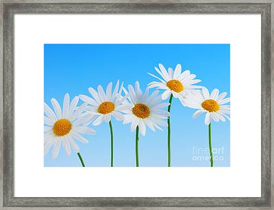 Daisy Flowers On Blue Framed Print