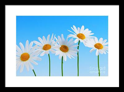 White Daisy Framed Prints