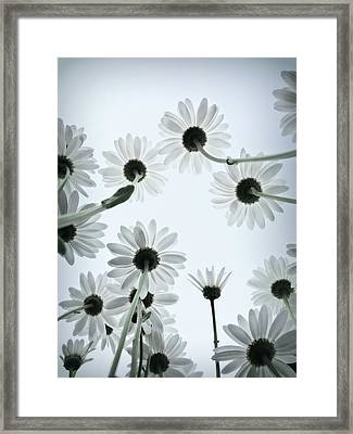 Daisy Flowers Rear View Framed Print by photograph by Anastasiya Fursova