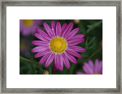 Framed Print featuring the photograph Daisy by Heidi Poulin