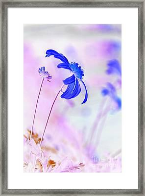 Daisy In Blue Framed Print by Kaye Menner