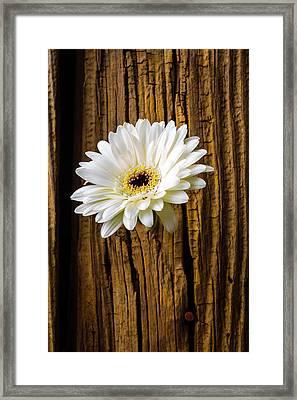 Daisy In Knothole Framed Print