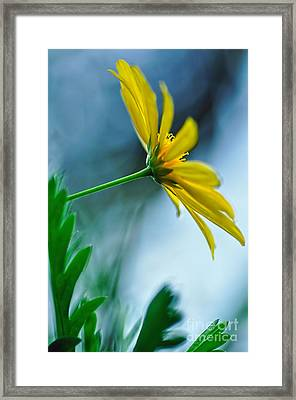 Daisy In The Breeze Framed Print by Kaye Menner