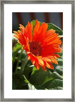 Daisy Framed Print by Kathy Schumann