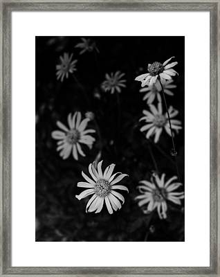 Daisy  Framed Print by Mario Celzner