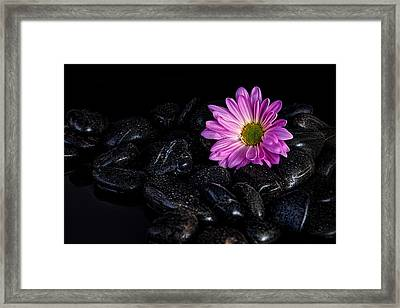 Daisy On The Rocks Framed Print