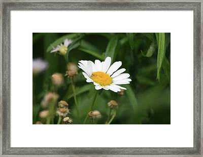 Daisy One Framed Print by Alan Rutherford