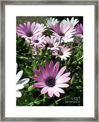 Daisy Patch Framed Print by Kaye Menner