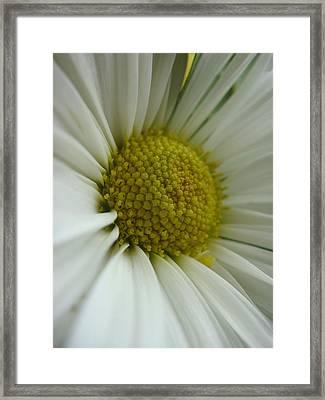 Daisy Framed Print by Patricia M Shanahan
