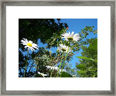 Daisy Rose Framed Print by Ken Day