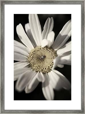 Daisy Framed Print by Sarah Boyd