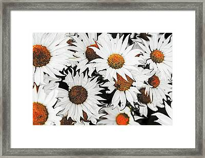 Daisy With A Twist Framed Print