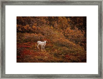 Dall Sheep Denali National Park Framed Print