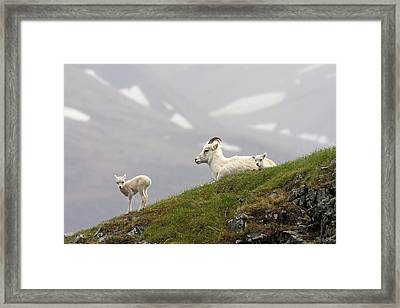 Dall Sheep Ewe And Her Lamb  Ovis Dalli Framed Print by Alissa Crandall