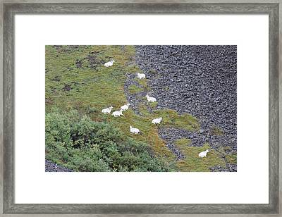 Dall Sheep On A Break Framed Print by David Wilkinson
