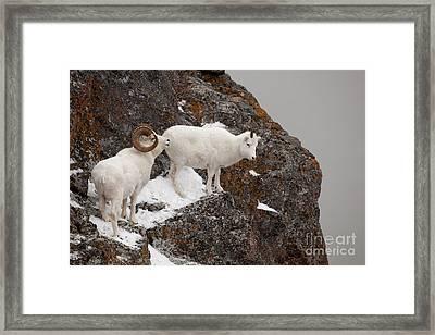 Dall Sheep On A Ledge Framed Print by Tim Grams