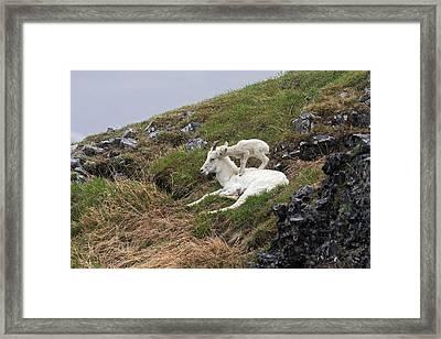 Dall Sheep  Ovis Dalli Dalli  Lamb Framed Print by Alissa Crandall