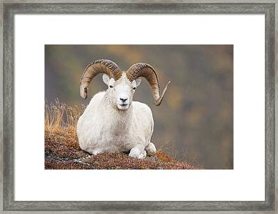 Dall Sheep Ram Framed Print by Tim Grams
