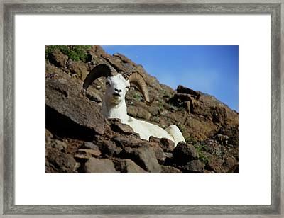 Dall Sheep Framed Print by Rick Berk
