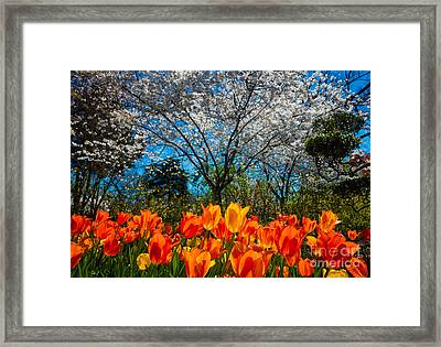 Dallas Arboretum Tulips And Cherries Framed Print by Inge Johnsson