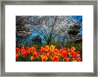 Dallas Arboretum Tulips And Cherries Framed Print