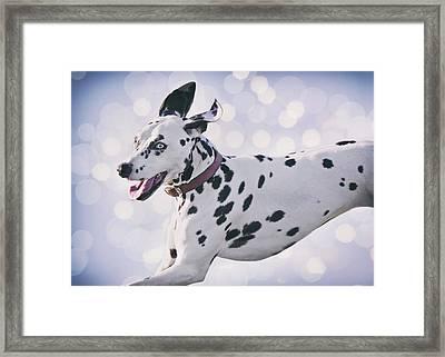 Dalmatian Dog  Framed Print by Wolf Shadow  Photography