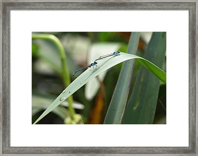 Damselflies Framed Print by Katherine Huck Fernie Howard