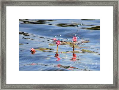 Damselflies On Smartweed Framed Print by Michele Penner
