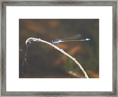 Framed Print featuring the photograph Damselfly by Lynda Dawson-Youngclaus