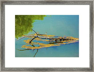 Damselfly On A Lake Framed Print