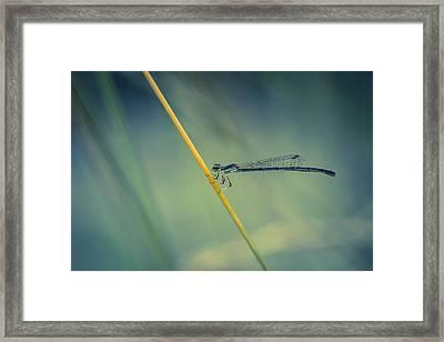Damselfy Framed Print by Shane Holsclaw