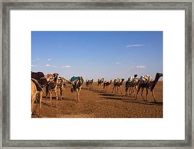 Camels In The Danakil Depression Framed Print