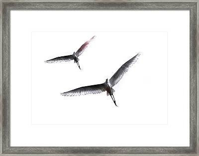 Dance Of The Egrets Framed Print by Marion Cullen