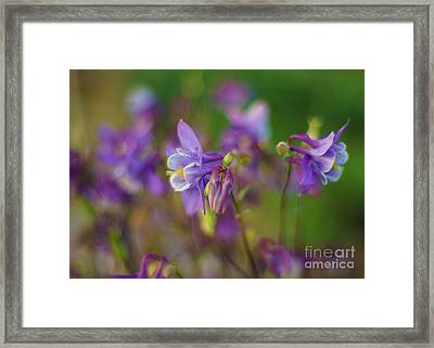 Dance Of The Lavender Columbines Framed Print by Mike Reid