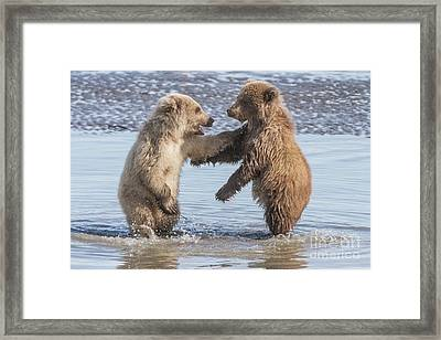 Dancing Bears Framed Print by Chris Scroggins