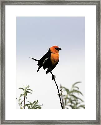 Dancing Blackbird Framed Print